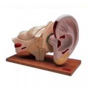 orecchio, ingrandito 5 volte, in 8 parti