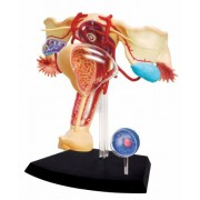 Learn about Human Anatomy - Female Reproductive System Model (Age 8+)