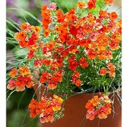 Flower Seeds : Nemesia Giant Mix Flower Seeds Of Winter Season Seasonal Flowering Plants (11 Packets) Garden Plant Seeds By Creative Farmer