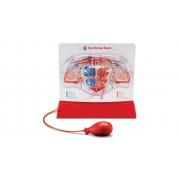 Betzold Herz-Kreislauf-Modell
