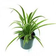 Puspita Nursery PN08 Spider Grass Plant without Pot healthy Fresh