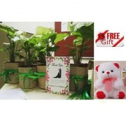 ES WEDDING AND PARTY GIFT SILGONIUM LIVE PLANT WITH FREE COMBO GIFT - 6 inchTEDDYBEAR