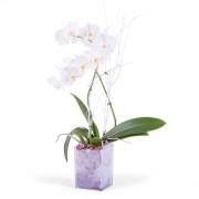 Planta de phalaenopsis Blanca - Flores a Domicilio