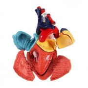 Generic 4D Medical Model Colored Heart Assembled Human Anatomy Dimensional Model Science Toys