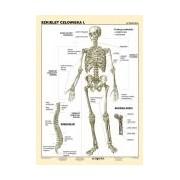 Szkielet człowieka I - plansza dydaktyczna