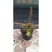 Berberis Thunbergii Coronita (30 cm)
