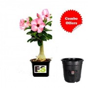 Adenium Plant Pink with Freebies