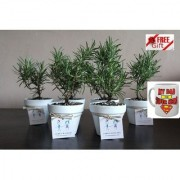 ES Bomboniere Rosemary PARTY GIFT PLANT COMBO OF 6 PCS With Freebies Mug