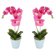 Wonderland pink Orchid with plastic pot (Set of 2)