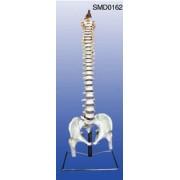 Coloana vertebrala cu nervi spinali-marime naturala