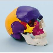 FS Anatomic Crâne didactique, 3 pièces