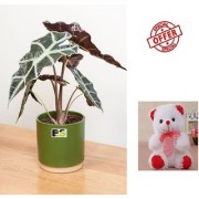 ES An Alocasia Plant HYBRIDE NATURAL LIVE WITH FREE COMBO GIFT - 6TEDDYBEAR