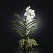 Aranjament floral NEW PLANT VANDA