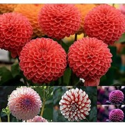 Flower Seeds : Giant Dahlia Flowered Coral Flower Plants Seeds Flower Seed Packet Garden Home Garden Seeds Eco Pack Plant Seeds By Creative Farmer