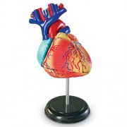 Learning Resources Model Heart