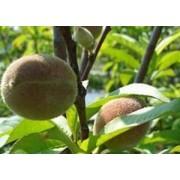 アーモンド果樹苗木 1本(JA果樹苗祭り)