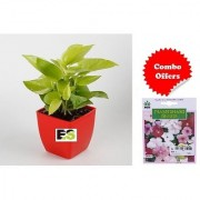 ES Golden Money Plant in Red Imported Plastic Pot with Indica Hybrid Seeds