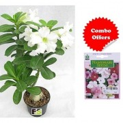ES Adenium Plant White with amazing Freebie with Indica Hybrid Seeds