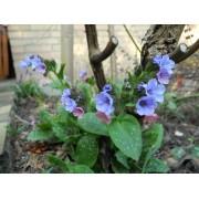 AWA herbs plicník nať 100g