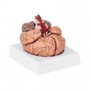Brain Model PHY-BM-1