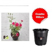 Desi Rose Plant with Freebie Combo