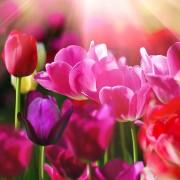Afbeelding achter glas Rosa Tulpen