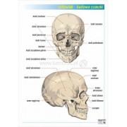 Budowa czaszki - plansza dydaktyczna