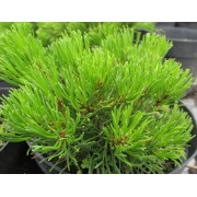 Pumilio törpefenyő / Pinus mugo var. pumilio - 30-40