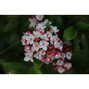 Groenblijvende sneeuwbal Viburnum burkwoodii 'Anne Russell'