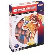 Famemaster 4D-Vision Human Female Reproductive Anatomy Model