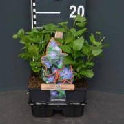 Plantenwinkel.nl Grote maagdenpalm (vinca major) bodembedekker - 4-pack - 1 stuks