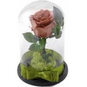 Trandafir criogenat in cupola MagazinulCuPlante.ro 21 cm Capucino