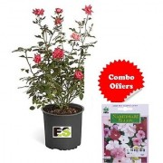 ES Flowera Rose Plant Combo with Indica Hybrid Seeds