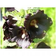 Alcea /althaea/ rosea 'Black knight' - Topolovka, proskurník