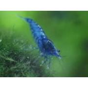 Blue Dream/Velvet