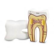 Ząb człowieka - model przekrojowy z pianki