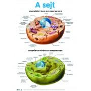Celula vegetala si animala