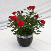 Red Rose Live Plant