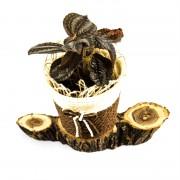 Aranjament floral cu Pilea si postament de salcam
