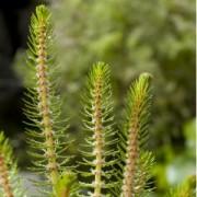 Moerings waterplanten Vederkruid (Myriophyllum crispata) zuurstofplant - 10 stuks