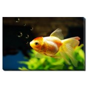 Tablou Canvas Goldfish and Bubbles