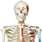 modello scheletro classico max, su cavalletto a 5 gambe con rotelle