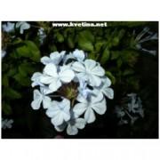 Plumbago auriculata /Capensis/ - Olověnec oškatý, mlékosed, lepivej Honza