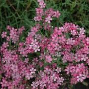 Gypsophila plazivá RUŽOVÁ (Gypsophila repens rosea)