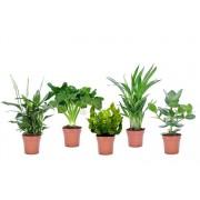 VakantieVeilingen.be Set van 5 luchtzuiverende plantjes (20 - 45 cm)