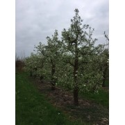 Oude appelboom Malus Elstar