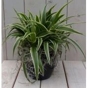 Warentuin Natuurlijk Chlorophytum in zwart/antraciete pot 25 cm