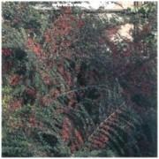 Cotoneaster horizontalis - Skalník vodorovný