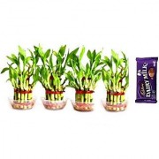 2 Layer Lucky Bamboo Plant 4 PCS