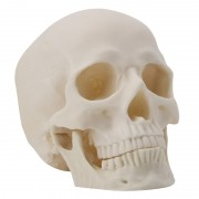 Realistic 1:1 Adult Size Human Skull Replica Resin Art Teaching Model Medical